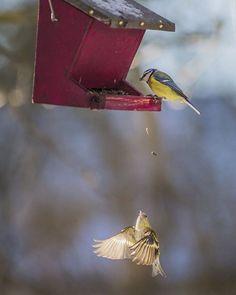 FLUGAKROBAT: Der Erlenzeisig schnappt sich in der Luft, was die Blaumeise fallen lässt. Mit diesem großartigen Bild gewinnt Martin Hollaus unseren Wintervogel-Wettbewerb. Herzlichen Glückwunsch.  PS: Die anderen Gewinnerbilder müsst Ihr auch unbedingt angucken: geo.de/wintervogel (Link auch in Bio) #erlenzeisig #blaumeise #vogelhaus #vogelhäuschen #Fotowettbewerb