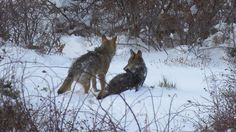 Lobos Ibéricos Retozando en la Nieve (Iberian Wolves)