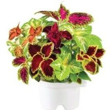 Click 'n' Grow Painted Nettle Refill - £19.99