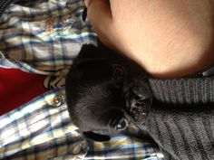 """""""Douglas at 5 weeks old. He fell asleep while we held him. Such a cutie!"""" - From the board """"Doug the Pug"""""""