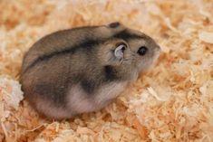 * Hamster Anão-Russo Campbell *   (Phodopus campbelli).