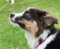 Australian Shepherd Photo of the Month — Photo: Kaitlyn Gonzalez, Aussie: Infiniti