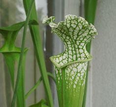 """Sarracenia leucophylla """"green form"""""""