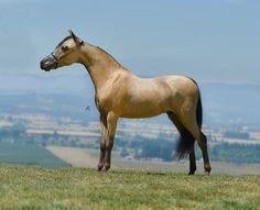 Miniature Jr Stallions offered at MiniHorseSales.com