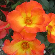 The tools below allow you to search by a plants common name or botanical name, a plants attributes or by plant category. Floribunda Roses, Rose Wall, Zone 5, Sprays, Orange, Yellow, Scarlet, Bud, Compact