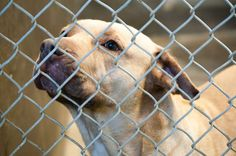 SAFE --- Staffordshire Terrier female 2-3 years old  Kennel A1 Available NOW**** $51 to adopt   Located at Odessa, Texas Animal Control.  https://www.facebook.com/speakingupforthosewhocant/photos/pb.248355401855372.-2207520000.1413658998./859902390700667/?type=3&theater