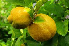 Sour Puss: Reviving a Fussy Meyer Lemon Tree