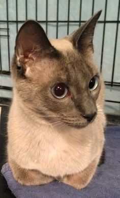 Siamese cat in Westfield, MA