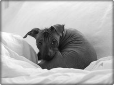 #Xoloitzcuintle - only 2 months until i get our #Xolo puppy