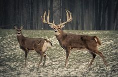 We Want To See Your Big Bucks! Submit your big buck pictures and you could win a Weber Smokey Joe Charcoal Grill! Big Whitetail Bucks, Whitetail Deer Hunting, Deer Hunting Tips, Hunting Land, Fallow Deer, Hunting Stuff, Archery Hunting, Whitetail Deer Pictures, Deer Photos