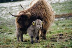 Big Animals, Cute Baby Animals, Farm Animals, Longhorn Cow, Longhorn Cattle, Scottish Highland Cow, Highland Cattle, Fluffy Cows, Sweet Cow
