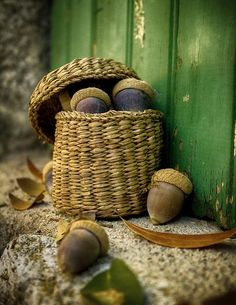 Acorn in a Basket - Color Note: Green and Brown Oak Leaves, Autumn Leaves, Autumn Harvest, Photo Fruit, Woodlands Cottage, Acorn And Oak, Autumn Day, Autumn Song, Hello Autumn