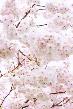 minuga-hana: Bloom by Renata Poccia Garden Shrubs, Blue Dream, My Flower, Flower Bomb, Pretty In Pink, Pretty Babe, Cherry Blossom, Flower Arrangements, Beautiful Flowers