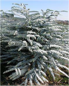 Silver Leaved Mountain Gum (Eucalyptus pulverulenta ) 50 seeds- Very Rare Australian Native Garden, Australian Native Flowers, Australian Plants, Plantas Indoor, Silver Plant, Tall Shrubs, Bush Garden, Eucalyptus Tree, Coastal Gardens