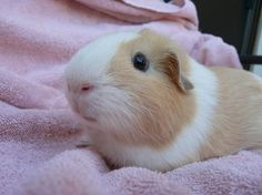 guinea pigs are my favorite