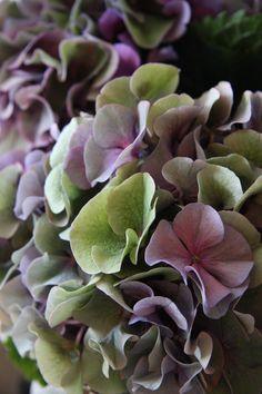 hydrangea Sybilla classic purple