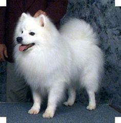 American Eskimo's -- the best pets ... Love them!