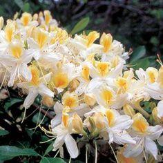 Northern Hi-Lights Rhododendron Shrub. Yellow & white.