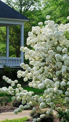 The Chinese snowball viburnum produces scores of glistening white pom-pom-like f., The Chinese snowball viburnum produces scores of glistening white pom-pom-like flowers suitable for cutting and arranging in a vase. Photo by McClatch. Trees And Shrubs, Trees To Plant, Cut Flowers, White Flowers, Yellow Roses, Purple Flowers, Pink Roses, Beautiful Gardens, Beautiful Flowers