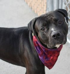 SAFE 9-16-2015 by Imagine Pet Rescue --- Brooklyn Center ZEUS – A1050115 BLACK / WHITE, AMER BULLDOG / MASTIFF, 2 yrs STRAY – ONHOLDHERE, HOLD FOR LICENSED Reason ABANDON Intake condition UNSPECIFIE Intake Date 09/02/2015 http://nycdogs.urgentpodr.org/zeus-a1050115/