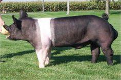 Hampshire Pig | hampshire