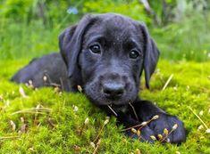 Ursa the Labrador Retriever-Beautiful Future Service Dog! #LabradorRetriever