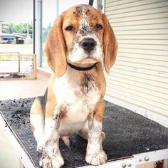 Dirty, but still very loveable, beagle :)
