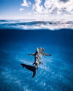 Cruising into a new week like via Under The Water, Under The Sea, Save The Sharks, Cool Sharks, Shark Pictures, Shark Photos, Hai Tattoo, Looks Baskets, Image Avion