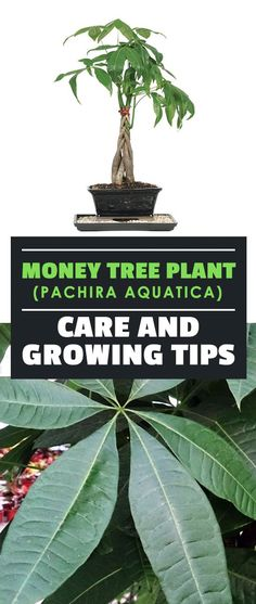 The money tree plant is one of the most popular and easy-care houseplants. Learn exactly how to grow Pachira aquatica with this simple guide. art design landspacing to plant Money Tree Plant Care, House Plant Care, Tree Care, House Plants, Tips And Tricks, Pachira Money Tree, Easy Care Houseplants, Pachira Aquatica, Snake Plant Care