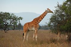 The only remaining naturally occurring population of Rothschild's Giraffe (Giraffa camelopardalis ssp. rothschildi) is in Murchison Falls National Park, Ugand. It has been reintroduced in Kenya; however, the individuals there are thought to be declining due to poaching. Currently, fewer than 470 individuals of this Endangered subspecies are estimated to be left in Uganda and Kenya. Rothschild's Giraffe is one of the most imperilled Giraffe subspecies