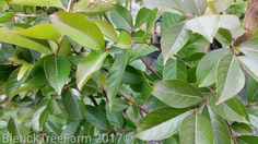 Lagerstroemia indica x faurei – Natchez – Purchase Bare Rooted Trees Online