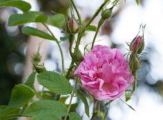 'Rose à Parfum de Grasse' Damask rose simolanrosario.com