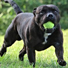 GOT IT! Baby Puppies, Dogs And Puppies, Stafford Dog, Big Dogs, Cute Dogs, Staffy Bull Terrier, English Staffordshire Bull Terrier, Pitbulls, Nanny Dog