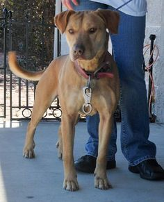 02/06/16-Clarice is an adoptable Labrador Retriever, Pit Bull Terrier Dog in Dublin, VA *Although we try to be as accurate as possible, Pulaski County Animal Shelter cannot guarantee ... ...Read more about me on @petfinder.com