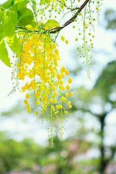 Yellow and Green in Nature with bokeh photography Pretty Flowers, Yellow Flowers, Spring Flowers, Beautiful Flowers Wallpapers, Mellow Yellow, Color Yellow, Colour, Flowering Trees, Shades Of Yellow