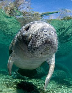 Swimming with Manatees in the Crystal River, Florida.  Cutest face ever....