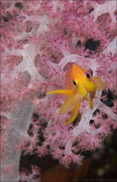 Golden anthias in soft coral, Fiji Islands