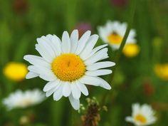 Heinrich Wilhelm: Eine Margerite auf der Blumenwiese - Leinwandbild auf Keilrahmen