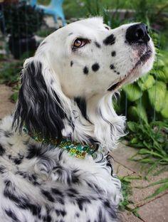 Beautiful setter