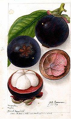 Botanical Fruit -- Mango