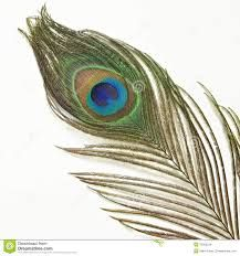 Google Image Result for http://thumbs.dreamstime.com/z/peacock-feather-white-background-tail-33265234.jpg