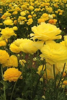 Garden of Beautiful Ranunculus
