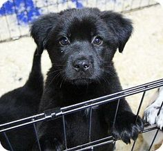 Washington, DC - Shepherd (Unknown Type)/Australian Shepherd Mix. Meet Sgt Pepper (Beatles Litter) *Has Application* a Puppy for Adoption.