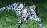 Leopard Pictures, Leopard facts, information and photos on leopards