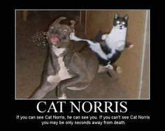 Always be on the lookout for #CatNorris! #cat #humor