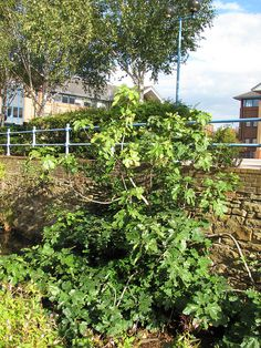 Fig Tree on the Porter Brook by Joey's Dream Garden, via Flickr
