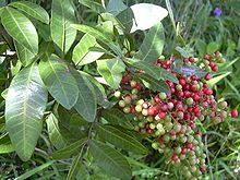 """Schinus terebinthifolius """"Brazilian Pepper Tree"""" This is another nasty, awful, no-good plant.  It sprouts up everywhere and secretes a toxin that kills other plants."""