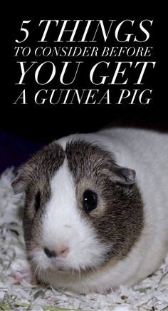 Thinking about getting a guinea pig? Check out these five things you absolutely must know before you bring home your sweet little cavy!