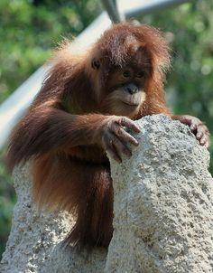 Sumatran Orangutan | Sumatran Orangutan Baby | Flickr - Photo Sharing!