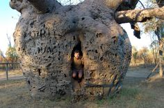 The Kimberley Australia, Boab tree. Prison Tree used as a holding cell near Derby WA in days gone-by.